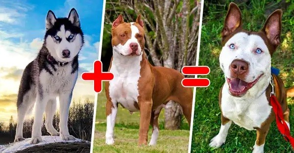 Combination of a Husky and a Pitbull gives a strange dog with a funny appearance