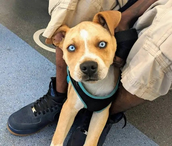A special dog owning body of Pitbull dad and beautiful blue eyes of Siberian Husky mom.