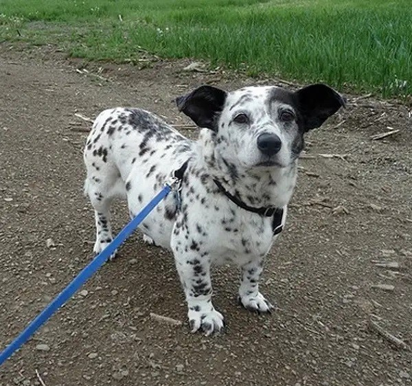 This is Corgi-Dalmatian! Is he like a dairy cow?