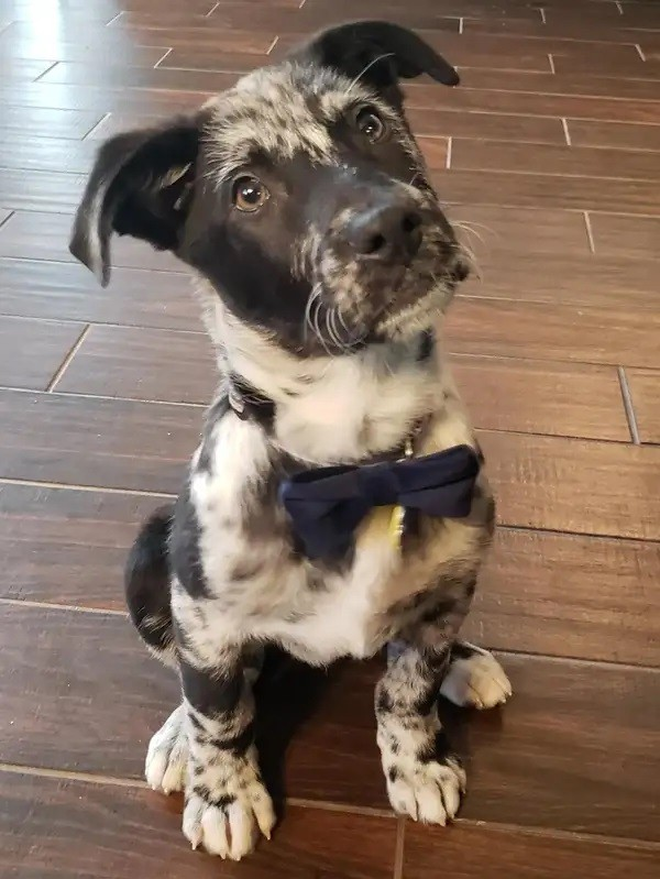This is Catahoula Leopard. He looks so great