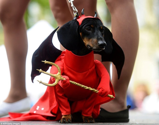 Dachshund Parade Costumes That Are Just Too Cute 2