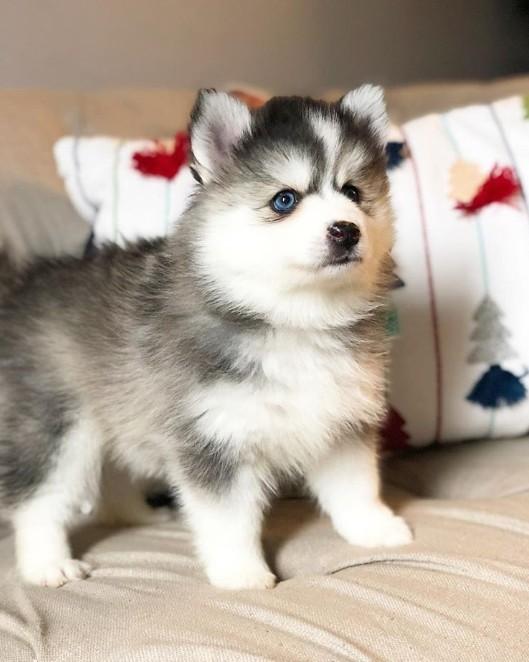 A small cute dog called Pomsky.