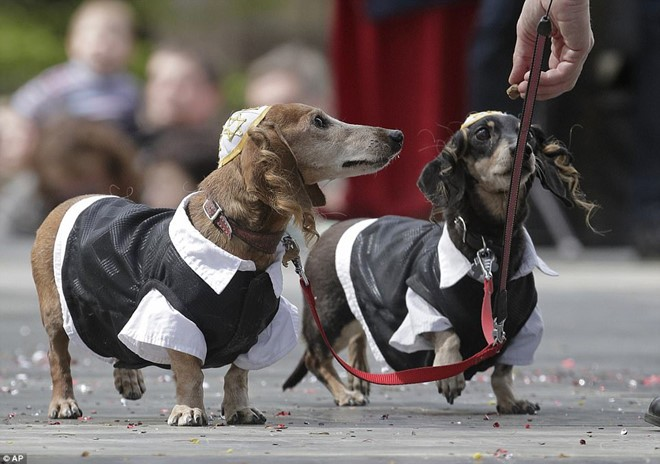Dachshund Parade Costumes That Are Just Too Cute 4