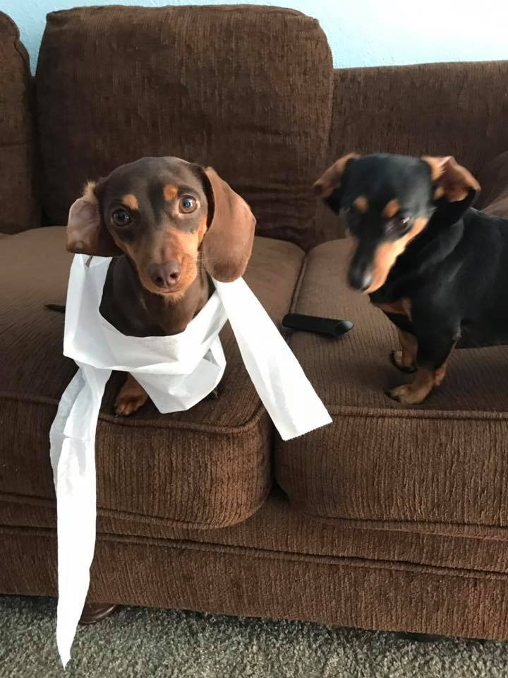 15 Terrible Things Dachshunds Will Do When You Are Not Home 5