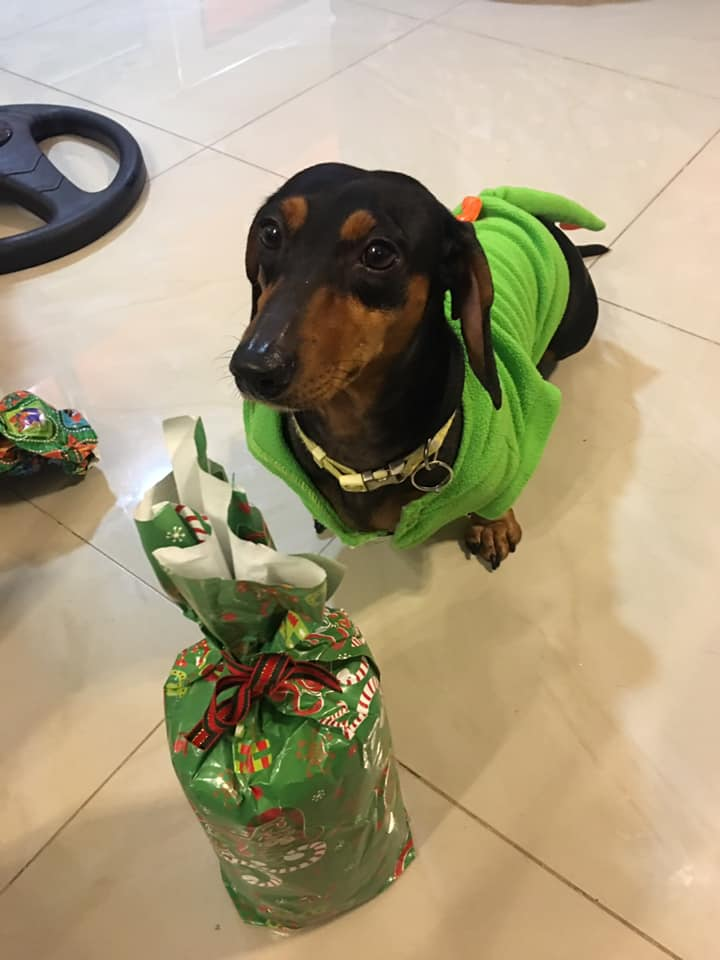 12 Signs Your Dachshunds Think They Are Your Bosses 5
