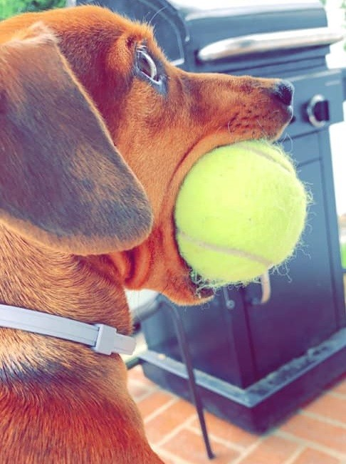 18 Funny Moments Showing That Dachshunds Are The Cutest Dogs 5