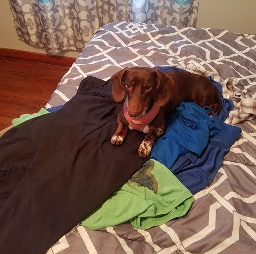 15 Terrible Things Dachshunds Will Do When You Are Not Home 6