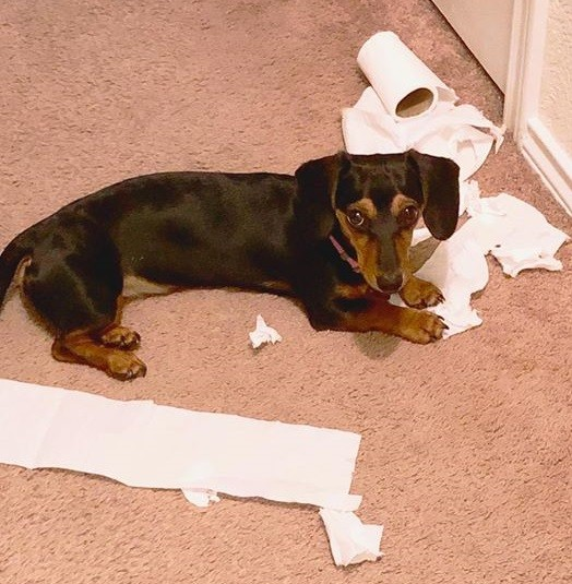 10 Reasons Dachshunds Are The Funniest Dogs 4