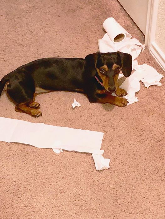 15 Terrible Things Dachshunds Will Do When You Are Not Home 4