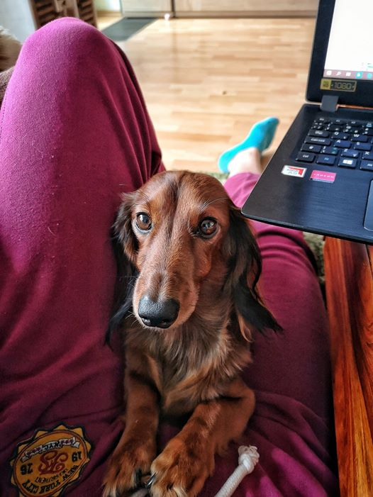 12 Signs Your Dachshunds Think They Are Your Bosses 8