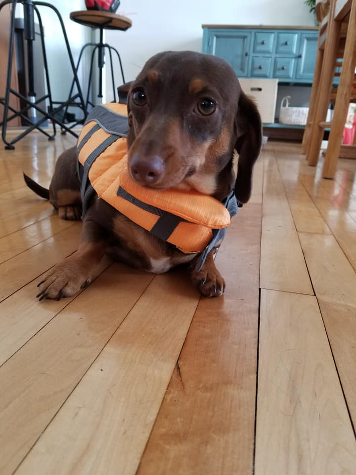 18 Funny Moments Showing That Dachshunds Are The Cutest Dogs 7