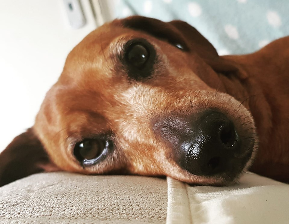 A New Study Finds That Dachshunds Can Help People Increase Longevity 5