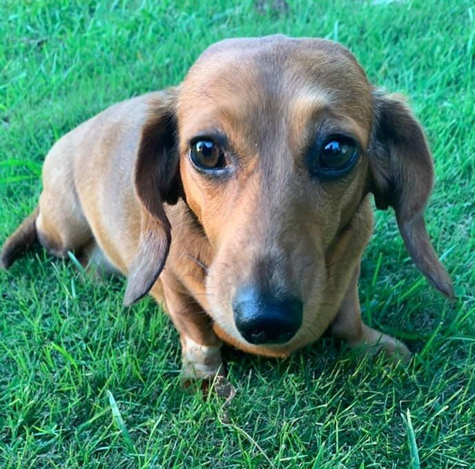 Cute Dachshund Names For Your Dachshund Puppies 6