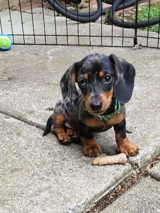 Scientists Have Proved That Losing A Dachshund Is More Painful Than Losing A Lover 3