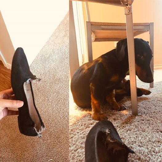 10 Reasons Dachshunds Are The Funniest Dogs 9