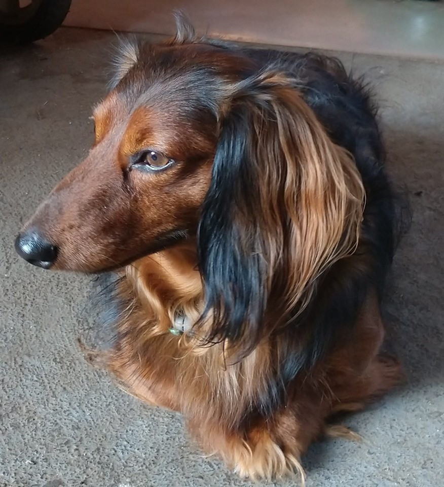 How To Make Your Dachshund's Hair Glossy And Shiny 1