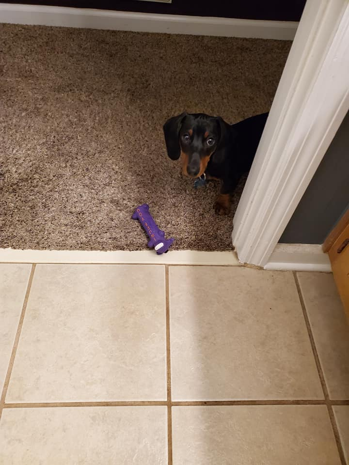 15 Terrible Things Dachshunds Will Do When You Are Not Home 12