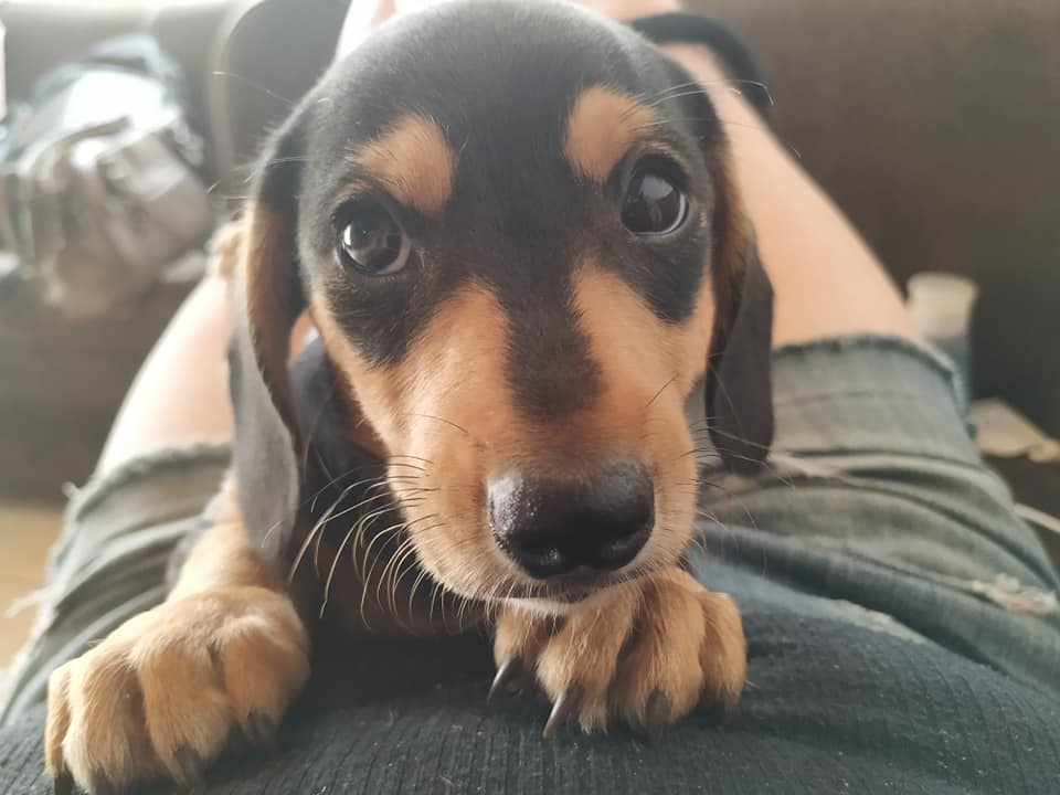 9 Benefits Of Owning A Dachshund That Will Make You Surprised 5