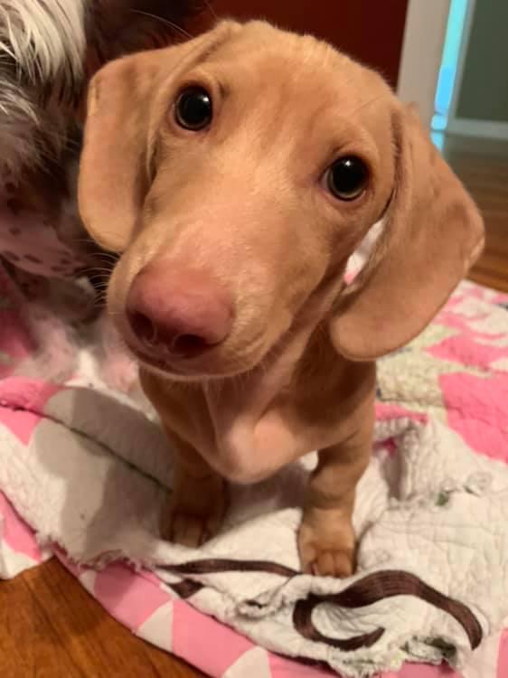Cute Dachshund Names For Your Dachshund Puppies 4