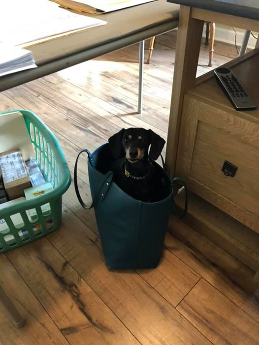 15 Terrible Things Dachshunds Will Do When You Are Not Home 10