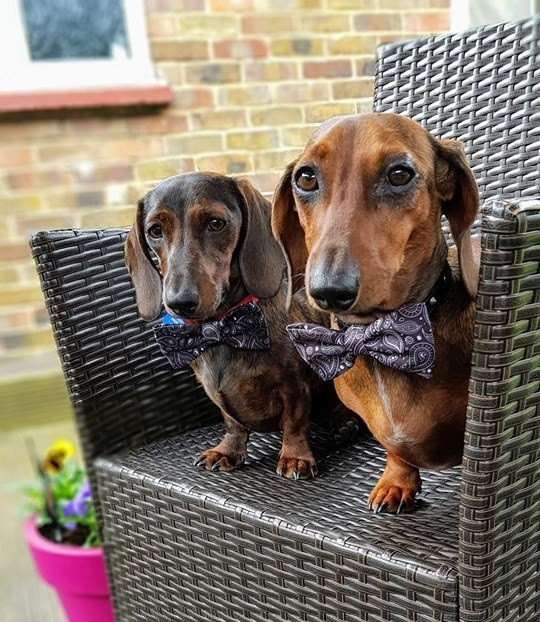 How To Make Your Dachshund's Hair Glossy And Shiny 3
