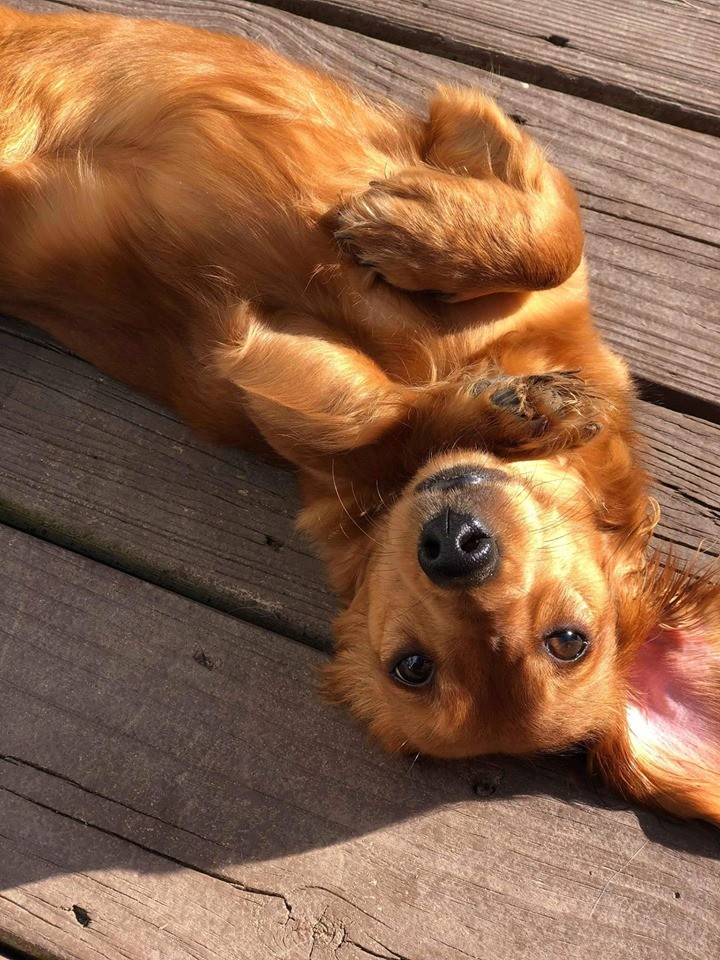 5 Amazing Secret Only Dachshund Owners Understand 2