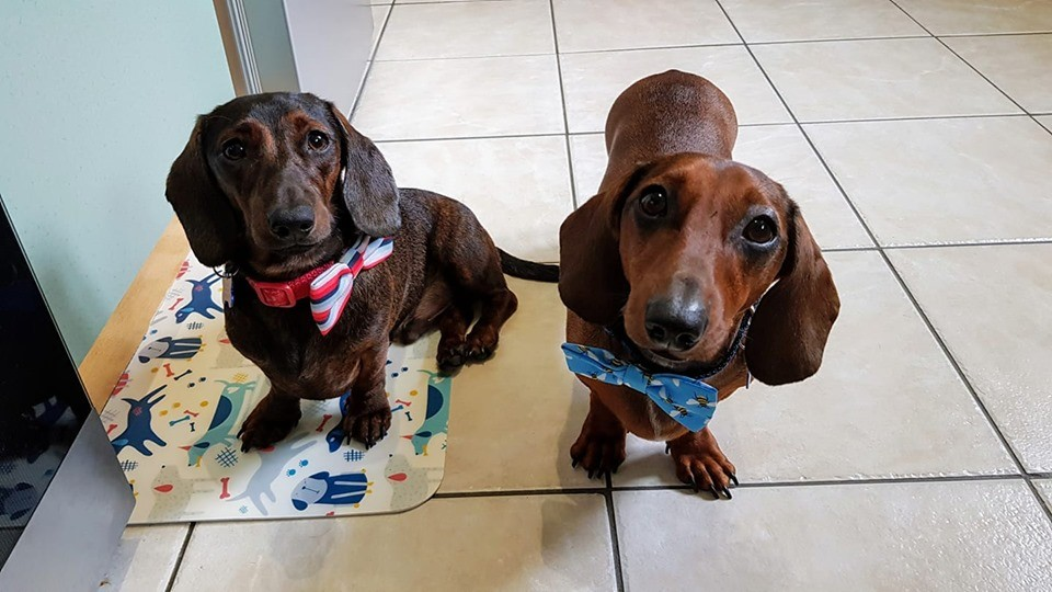 12 Amazing Reasons Dachshunds Are The Cutest Dogs On The Earth 4