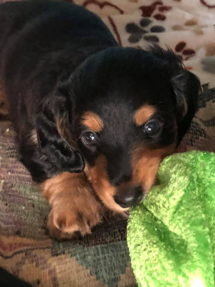 Things Your Dachshunds May Not Like 1