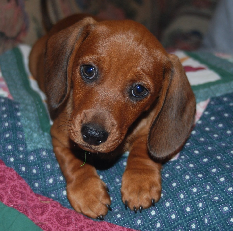 Cute Dachshund Names For Your Dachshund Puppies 2