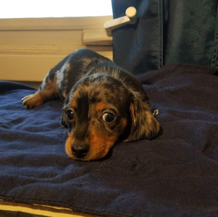 12 Amazing Reasons Dachshunds Are The Cutest Dogs On The Earth 2