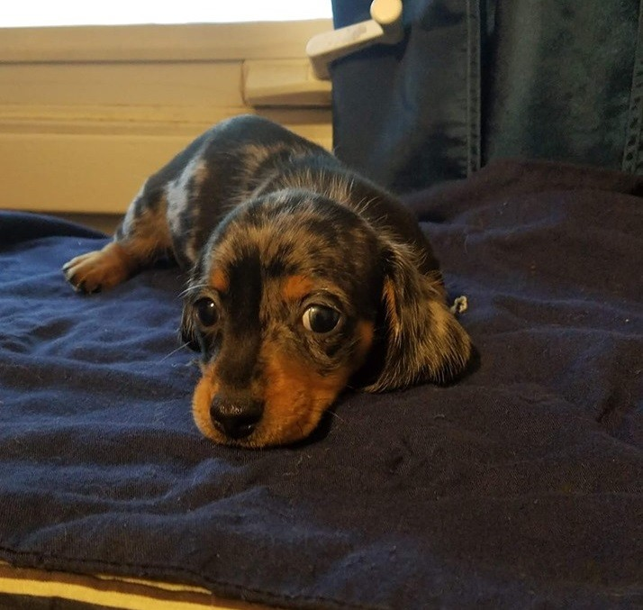 Things Your Dachshunds May Not Like 6