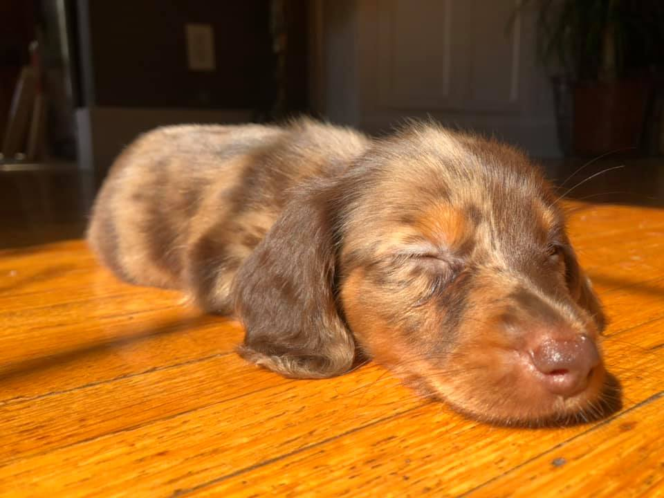 12 Amazing Reasons Dachshunds Are The Cutest Dogs On The Earth 12