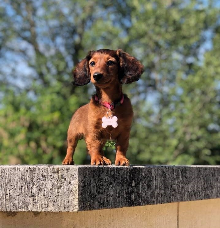 12 Amazing Reasons Dachshunds Are The Cutest Dogs On The Earth 3