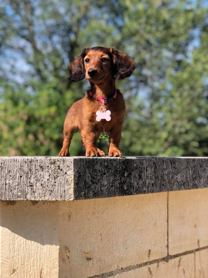 Science Confirms Owning Dachshunds Helps The Owners Reduce Stress 2