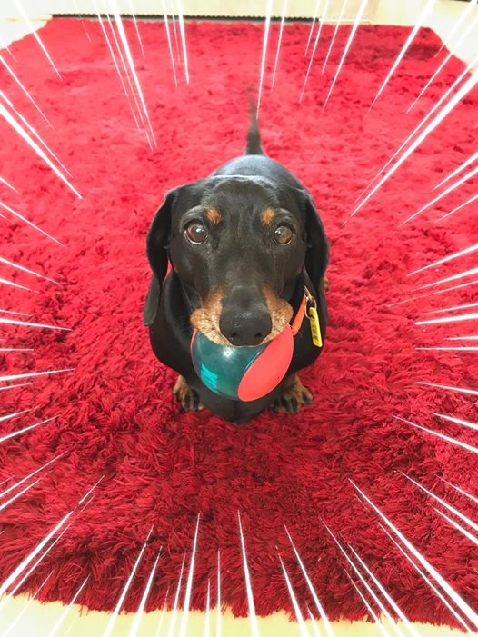 Top 5 Reasons You Should Own A Dachshund In Your House 4