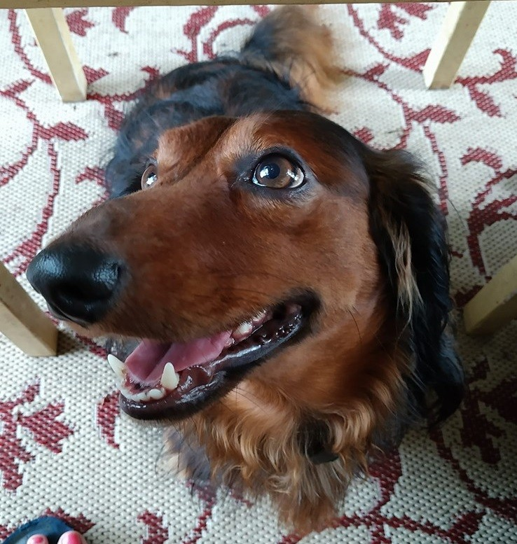 19 Signs Your Dachshunds Want to Express Their Feelings To You 6