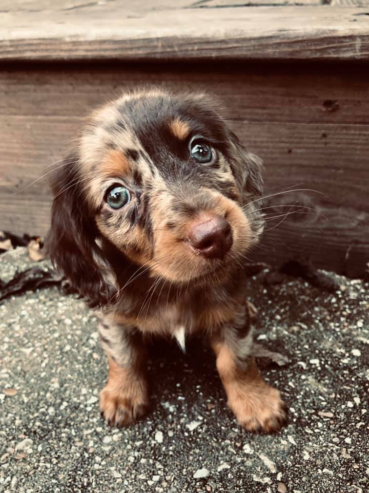 Science Confirms Owning Dachshunds Helps The Owners Reduce Stress 1