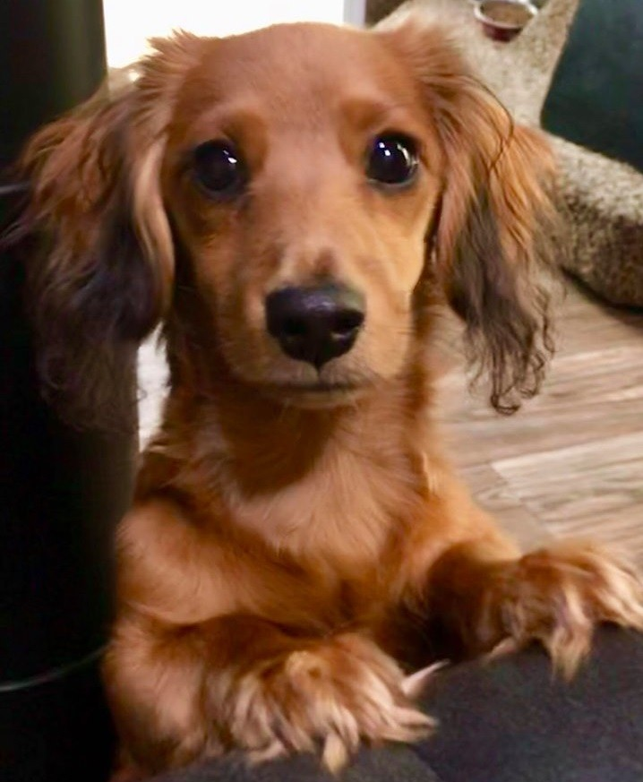 19 Signs Your Dachshunds Want to Express Their Feelings To You 5