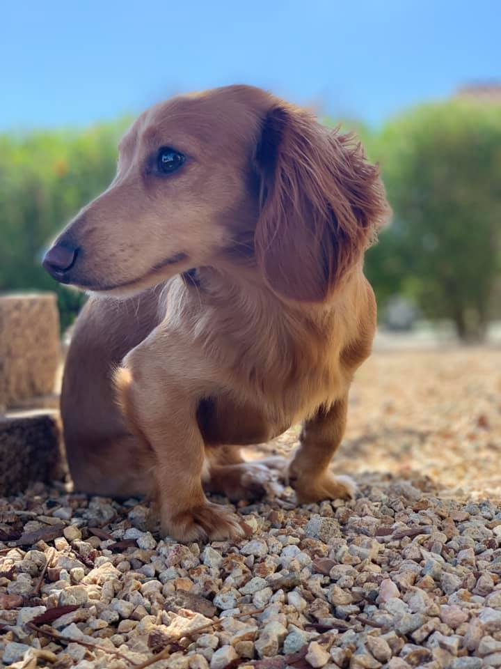 Top 5 Reasons You Should Own A Dachshund In Your House 5