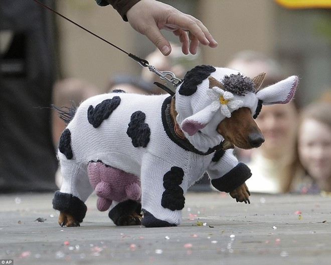 Dachshund Parade Costumes That Are Just Too Cute 7