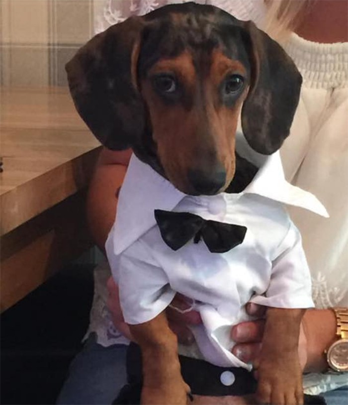 18 Funny Moments Showing That Dachshunds Are The Cutest Dogs 3