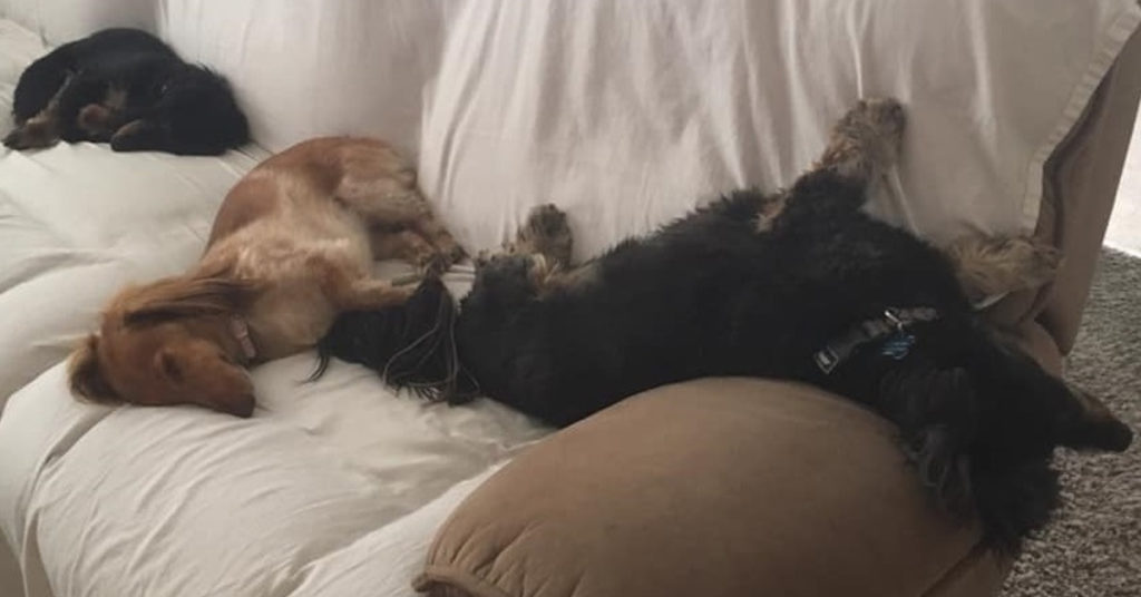15 Terrible Things Dachshunds Often Do When You Are Not Home