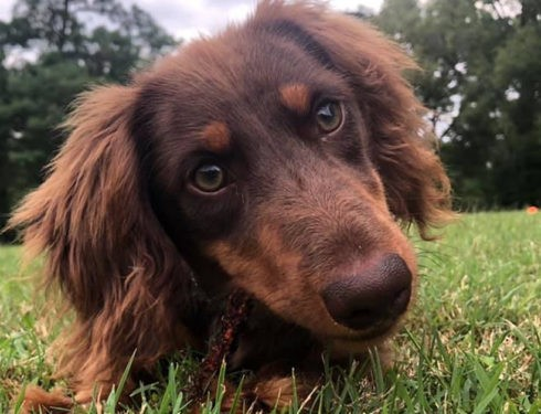 Can Dachshunds Recognize A Good And A Bad Person?