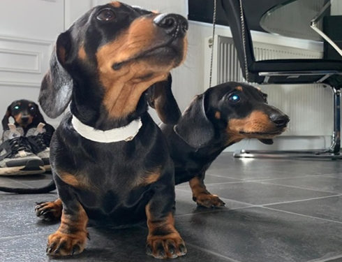 Science Confirms Owning Dachshunds Helps The Owners Reduce Stress