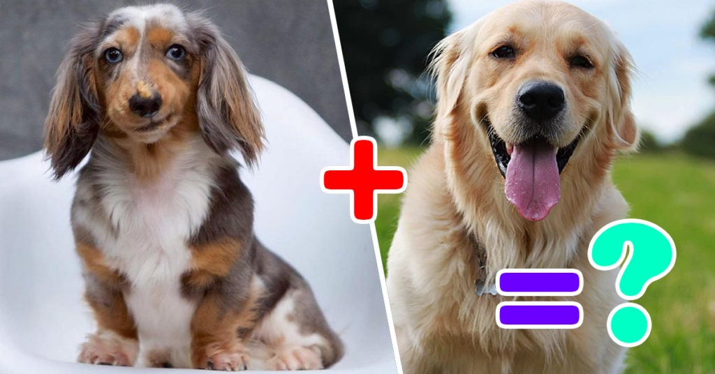Top Cutest Hybrid Dogs. Look How A Hybrid Dachshund Looks Like