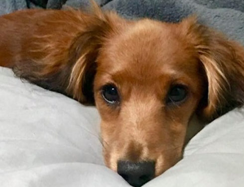 Why Are Dachshunds Always The Best Friends Of Humans?
