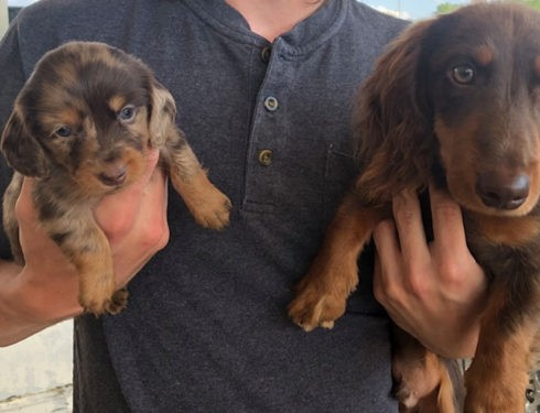 A New Study Finds That Dachshunds Can Help People Increase Longevity