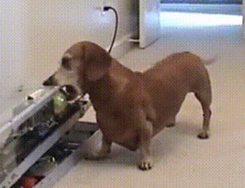 A Smart Dachshund Playing With His Ball Without Any Helps