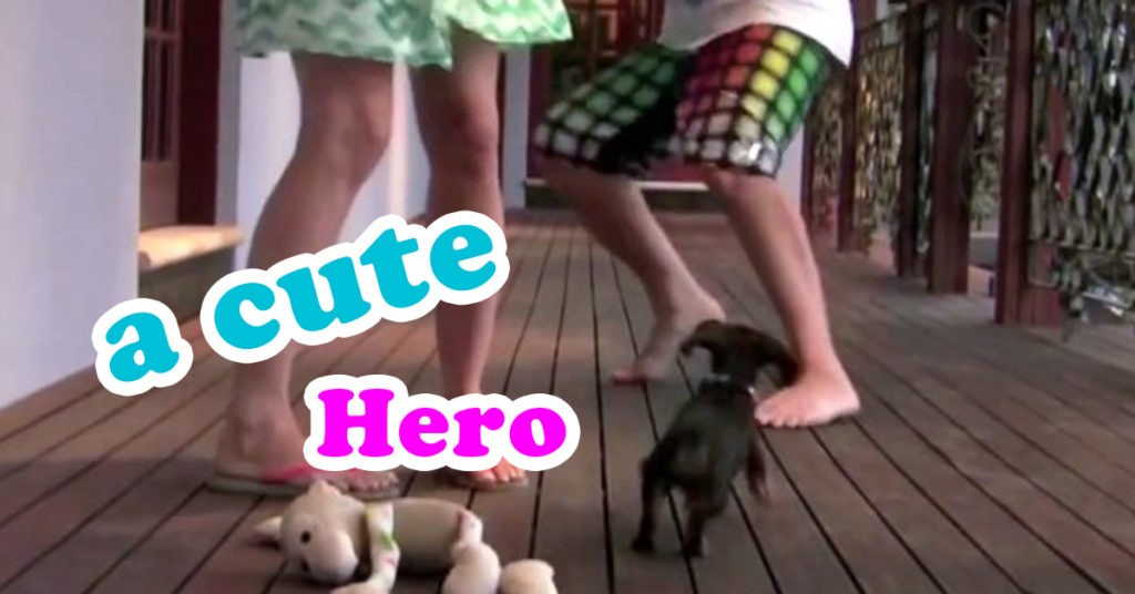 A Cute Dachshund Puppy Stops Playing To Protect His Owner