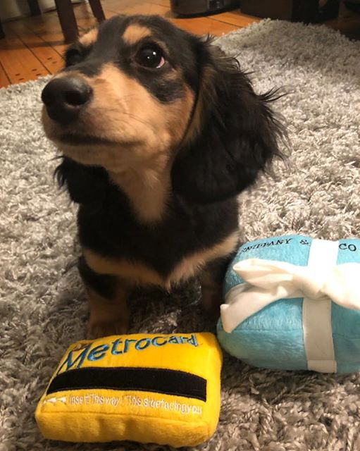 How To Teach Your Dachshunds To Recognize Their Names 5